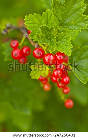 Bright red currants on the bush - stock photo