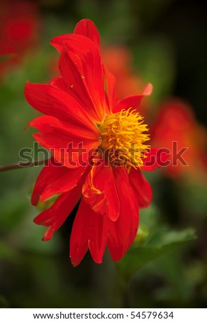 Bright red Dahlia blooming flower with yellow heart and a nice green DOF background - stock photo