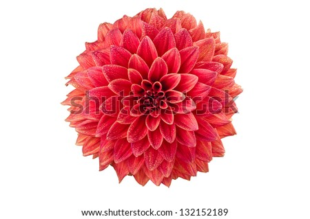 Bright red decorative stellar Dahlia flower isolated over white background - stock photo