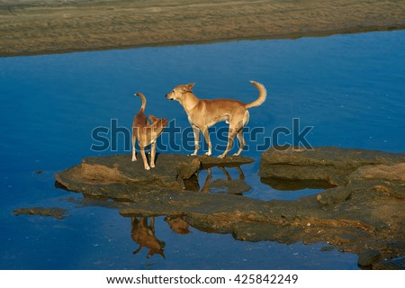 bright red dogs standing and reflected on the rocks in the blue water on sunset - stock photo