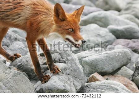 bright red fox with grey stone on the background - stock photo