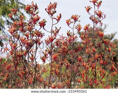Bright red furry tall blooms of Australian kangaroo paws cultivar  adds color to the late spring  urban  garden  on a cloudy morning with long lasting  blooms attracting birds and bees. - stock photo