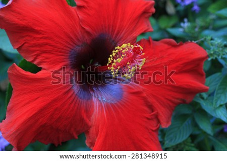 bright red hibiscus flower growing on the plant - stock photo