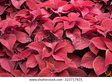 Bright red leaves of red coleus plants, plectranthus scutellarioides - stock photo