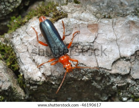 Bright red Longicorn beetle on the bark of a tree
