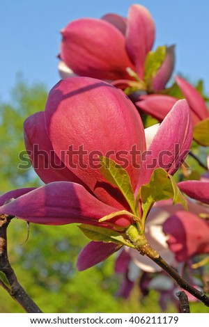 bright red magnolia are blooming in the spring in city park - stock photo