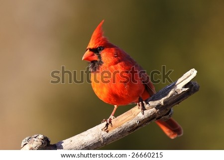 Bright red male Cardinal. - stock photo