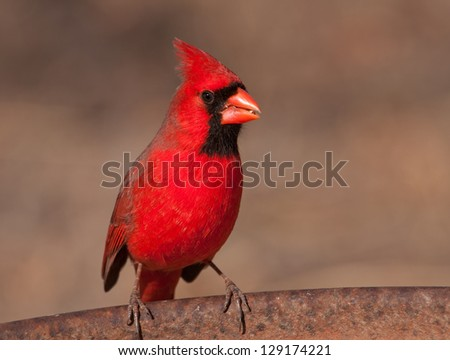 Bright red male Northern Cardinal sitting on the edge of a metal feeder