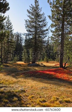 Bright red moss in mountains of national park Yosemite. Clear solar autumn morning