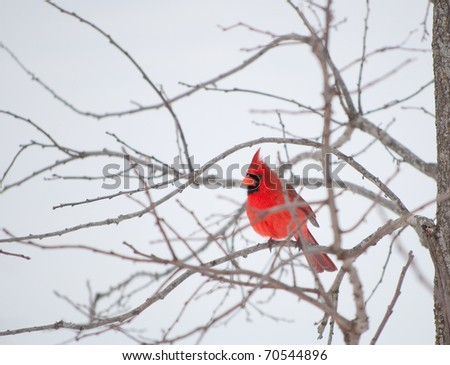 Bright red Northern Cardinal bird resting on a branch in gray winter weather - stock photo
