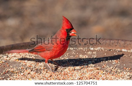 Bright red Northern Cardinal male eating seeds at a feeding station in winter - stock photo