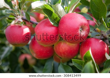Bright red organic apples on a tree branch