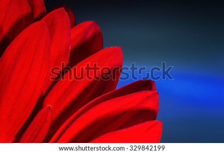 Bright red petals of a hidden red Chrysanthemum with an electric blue background. Studio flower image using natural light, - stock photo