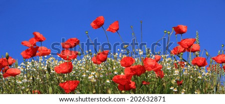 bright red poppies and marguerites full bloom, against blue sky - stock photo