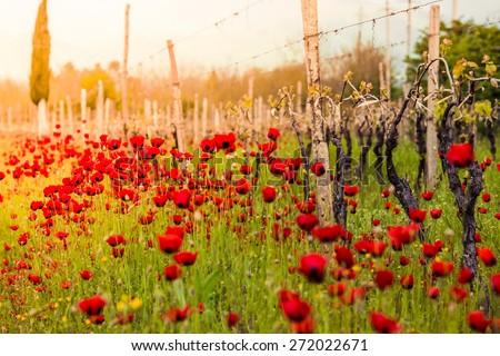 Bright red poppies in a vineyard in Kakheti region, Georgia, Caucasus. Selective focus - stock photo
