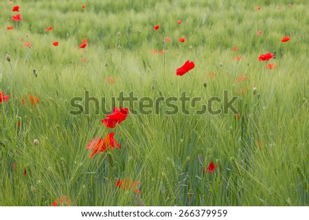 Bright red poppies in the garden - stock photo