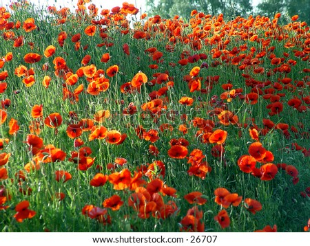 Bright red poppy field  - stock photo