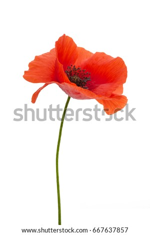 Bright red poppy flower isolated on stock photo royalty free bright red poppy flower isolated on stock photo royalty free 667637857 shutterstock mightylinksfo Image collections