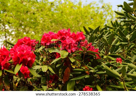 Bright red rhododendron flowers, spring on the  Oregon Coast - stock photo