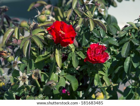 Bright red romantic  roses  blooming in early autumn adds fragrant charm to the urban street scape. - stock photo