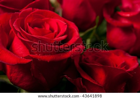 bright red roses - a lot of them as a floral background - stock photo