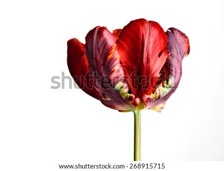 Bright Red Tulip Blossom - stock photo
