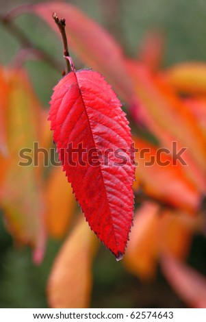 Bright red wild cherry leaf in autumn color - stock photo
