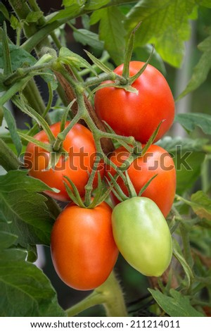 Bright refreshment branch plum tomato varieties ripens on the stalk with hanging green leaves in warm glasshouse. Close-up view