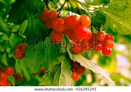 Bright rowan-berry bush with green leaves, horisontal - stock photo