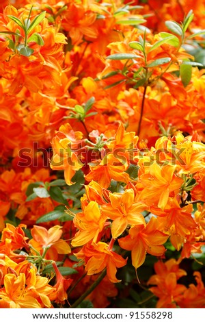 Bright shrub of rhododendron Golden Eagle - stock photo