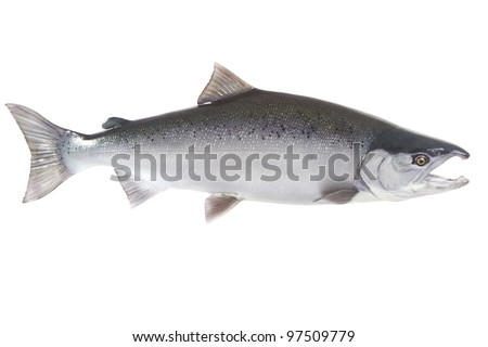 Bright silver Coho salmon isolated on white background