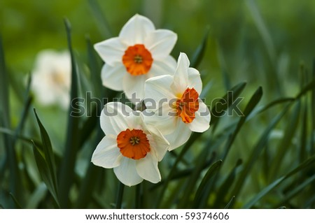 Bright spring daffodil flowers - Narcissus - stock photo