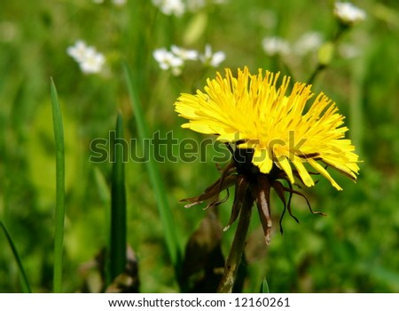 bright spring dandelion flower