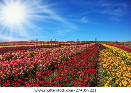 Bright spring sun.  Flowers planted with broad bands of bright colors - red  and yellow. Field of multi-colored decorative buttercups Ranunculus Bloomingdale - stock photo