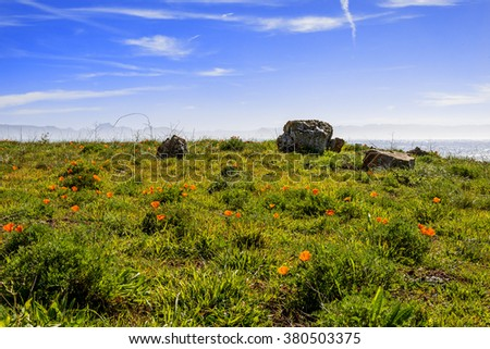 Bright spring yellow flowers, California poppies and sea grass blooming at the beach, next to Estero Bluffs state park, traveling the Big Sur Highway, on the California Central Coast, near Cambria CA. - stock photo