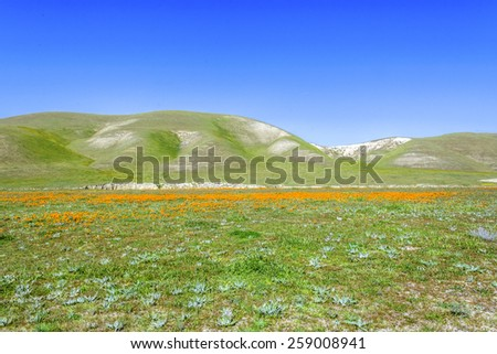 Bright spring yellow flowers, desert gold and California poppies near mountains in the Carrizo National Monument, on Shell Creek Road, in San Luis Obisco County, California. - stock photo