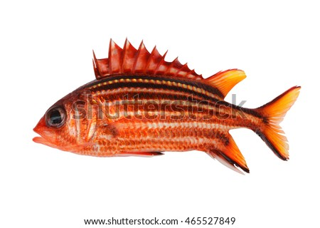 bright squirrelfish on white background isolated