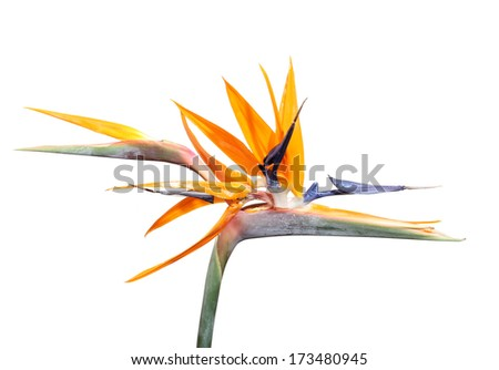 Bright Strelitzia flower South Africa's national flower  - stock photo