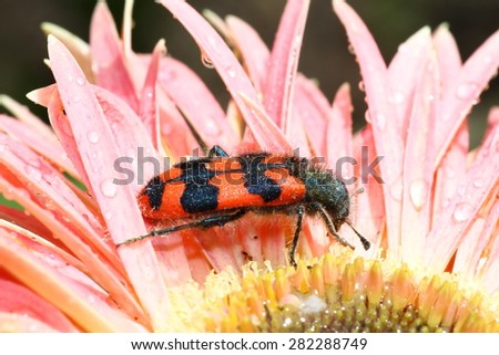 Bright striped Bee beetle (Trichodes apiarius) on a flower - stock photo
