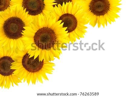 Bright studio shot of beautiful sunflowers decorating the white background - stock photo