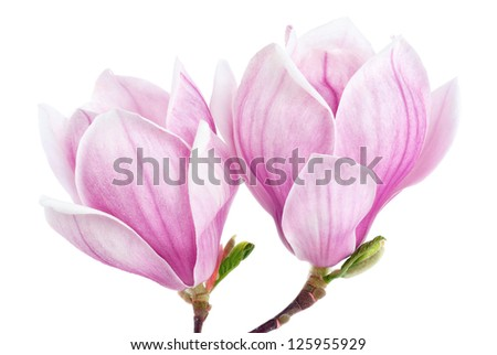 Bright studio shot of two magnolia blossoms isolated on pure white - stock photo