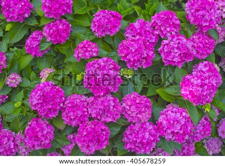 Bright summer background with pink hortensia Hydrangea macrophylla