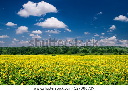 bright summer landscape. sunflower field and sky. - stock photo