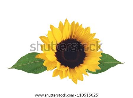 bright sunflower isolated on white background - stock photo