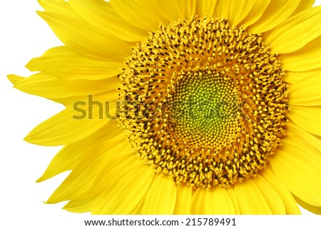 bright sunflower may used as background.