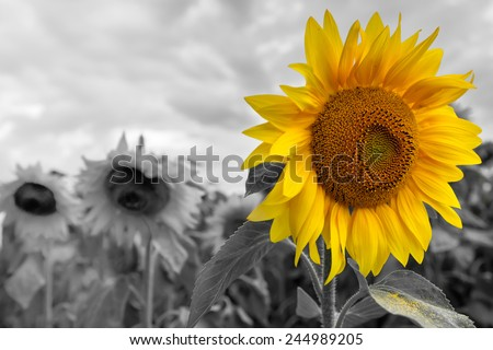 Bright sunflower on a grayscale sunflowers field background - stock photo
