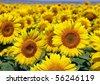 Bright sunflowers - stock photo