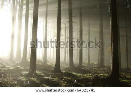 Bright sunlight entering autumn coniferous forest on a misty morning.