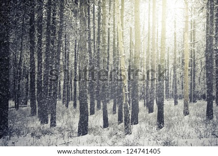 Bright sunny pine forest in the snow - stock photo