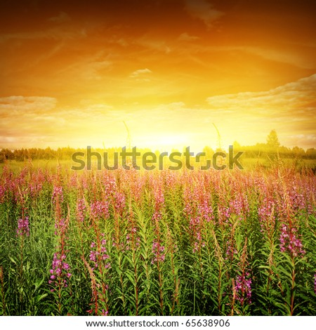 Bright sunset and flower field. - stock photo